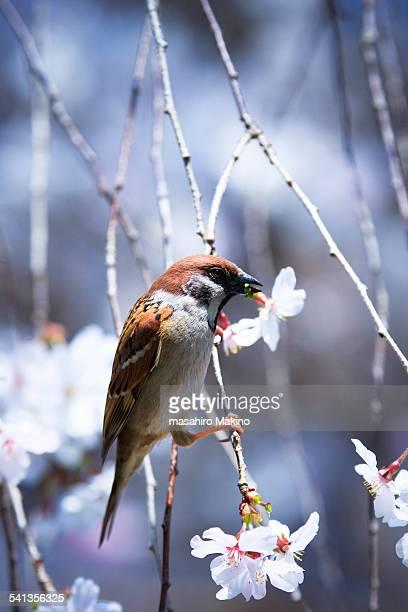 Sparrow on Cherry Tree