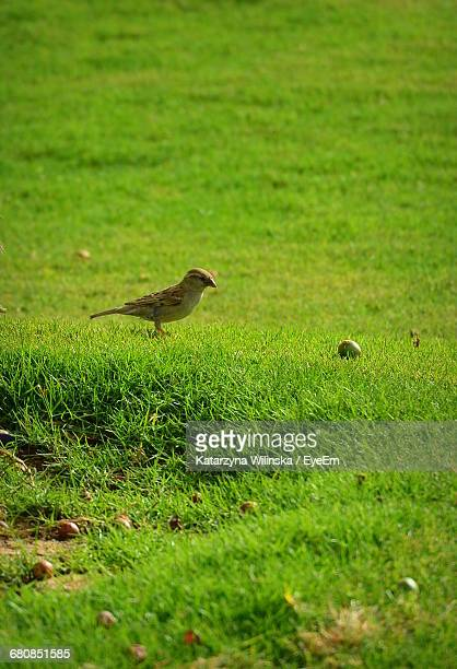 Sparrow On Grassy Field