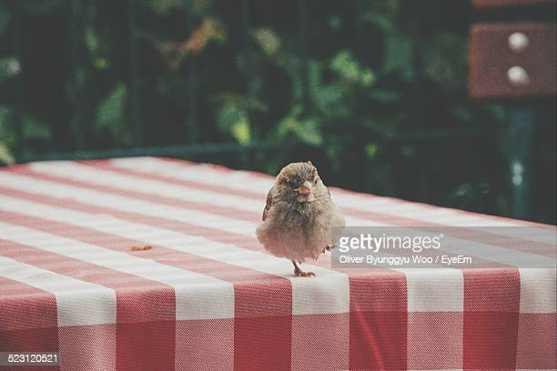 Sparrow On Table In Yard
