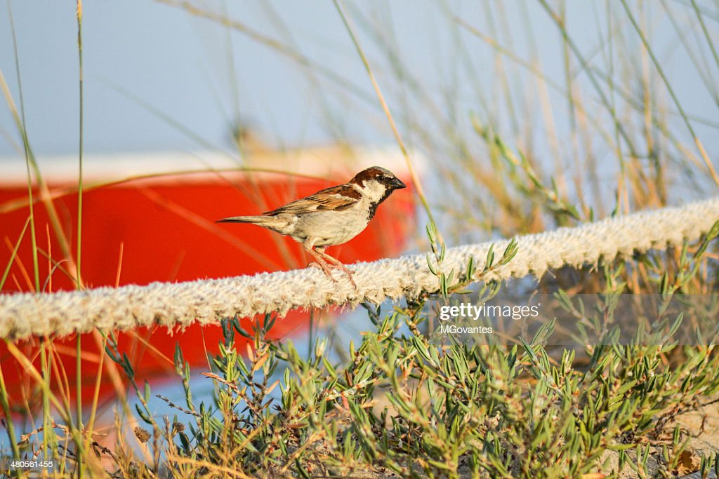 Sparrow on the beach : Stock Photo
