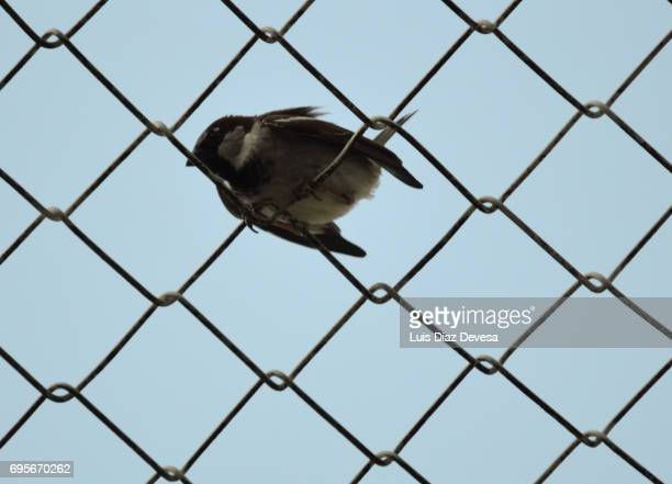 sparrow over barbed wire at seeking freedom