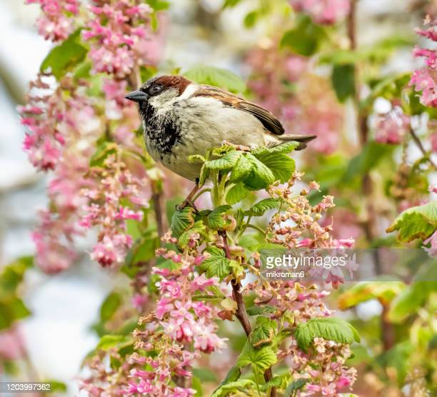 sparrow perching on twig flowering currant bush. springtime. - blossom stock pictures, royalty-free photos & images