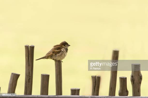 Sparrow (Passeridae) perching on wooden pole