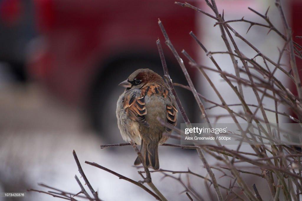 Sparrow : Stock Photo