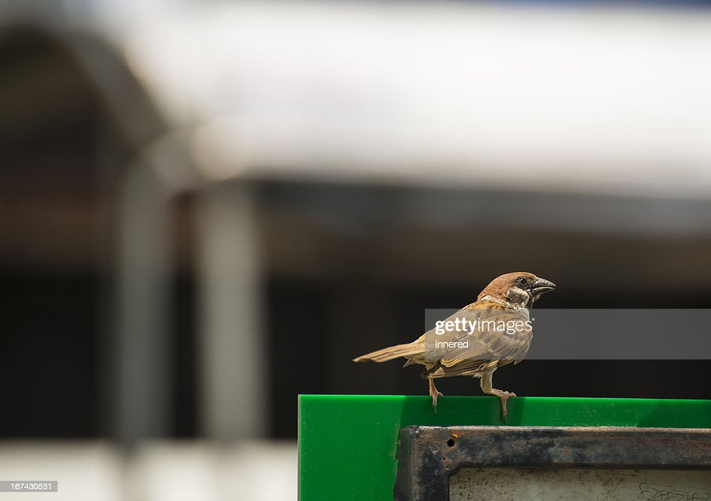 Sparrow : Stock Photo