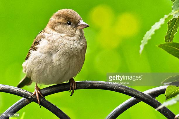 sparrow - crmacedonio stock pictures, royalty-free photos & images