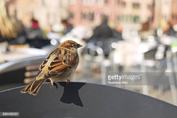 sparrow waiting for crumbs - campo santo stefano stock pictures, royalty-free photos & images