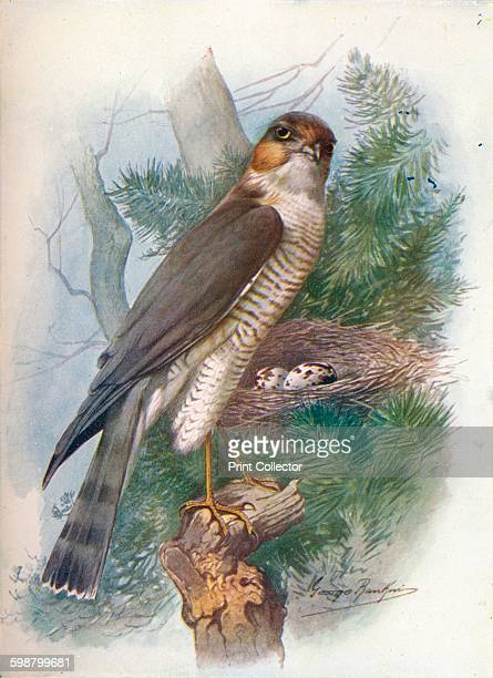 SparrowHawk Accipiter nisus circa 1910 From Britains Birds and Their Nests by A Landsborough Thomson [The Waverley Book Company Limited W R Chambers...