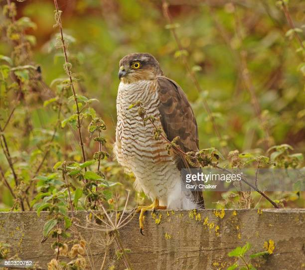 sparrowhawk [accipiter nisus] - sparrow hawk stock pictures, royalty-free photos & images