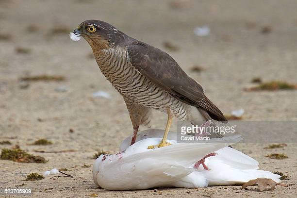 Sparrowhawk eating prey