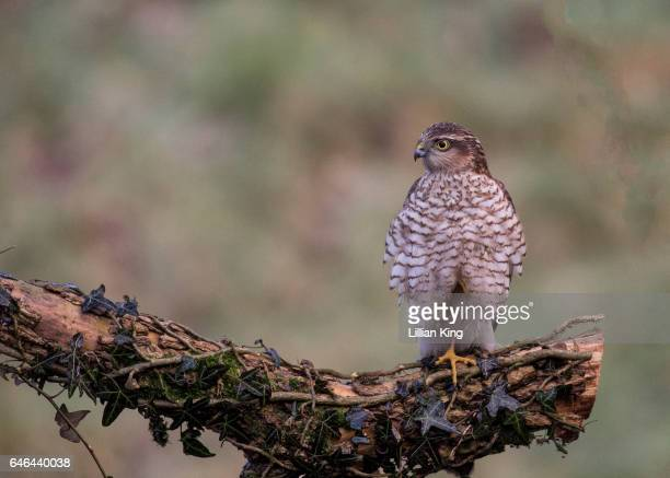 sparrowhawk female - sparrow hawk stock pictures, royalty-free photos & images