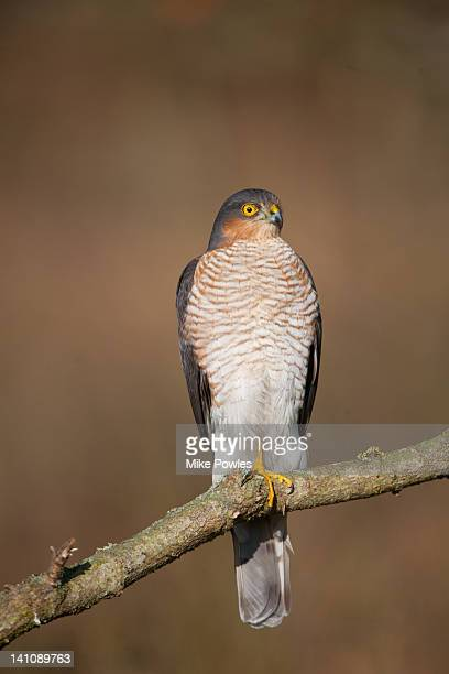 sparrowhawk perched in woodland norfolk - sparrow hawk stock pictures, royalty-free photos & images