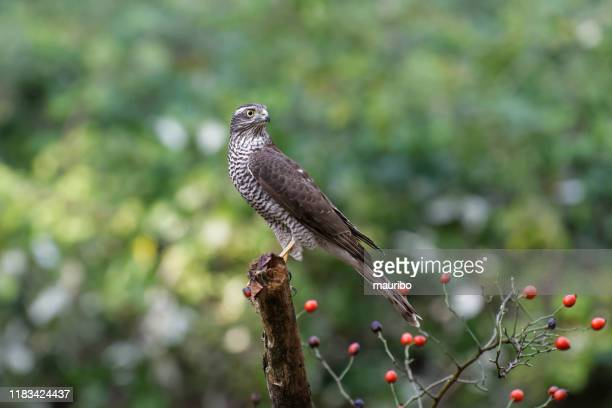 sparrowhawk (accipiter nisus) - sparrow hawk stock pictures, royalty-free photos & images