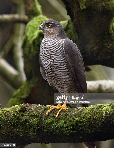 sparrowhawk - sparrow hawk stock pictures, royalty-free photos & images