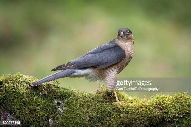 sparrowhawk - perching stock photos and pictures