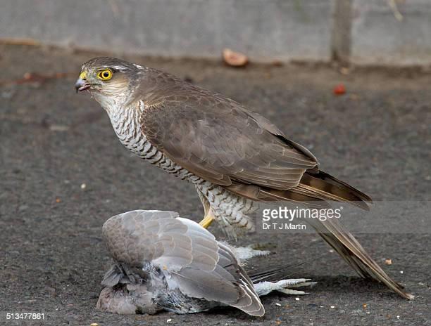 Sparrowhawk with prey