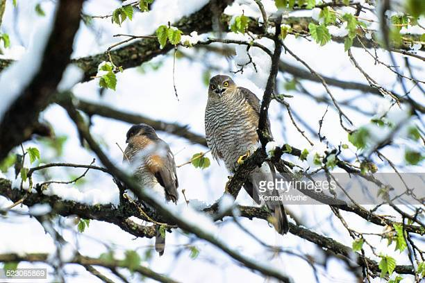 Sparrowhawks -Accipiter nisus-, couple in late winter, Upper Bavaria, Germany, Europe