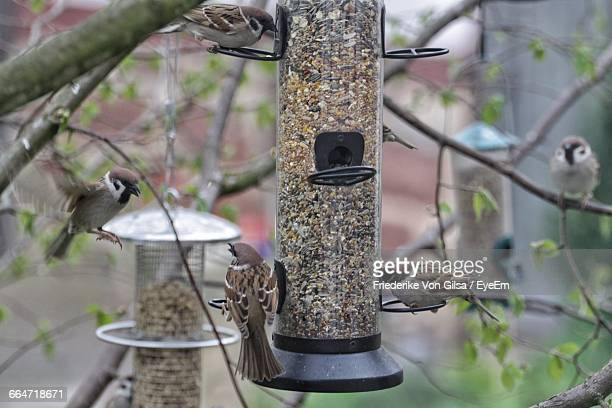 Sparrows By Bird Feeder Hanging On Tree