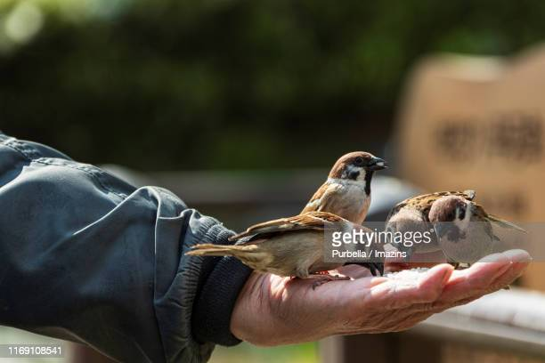 sparrows eating rice on hand in hyochang park, seoul, south korea - purbella stock photos and pictures