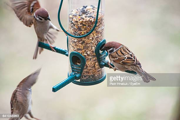 sparrows on feeder - piotr hnatiuk stock pictures, royalty-free photos & images