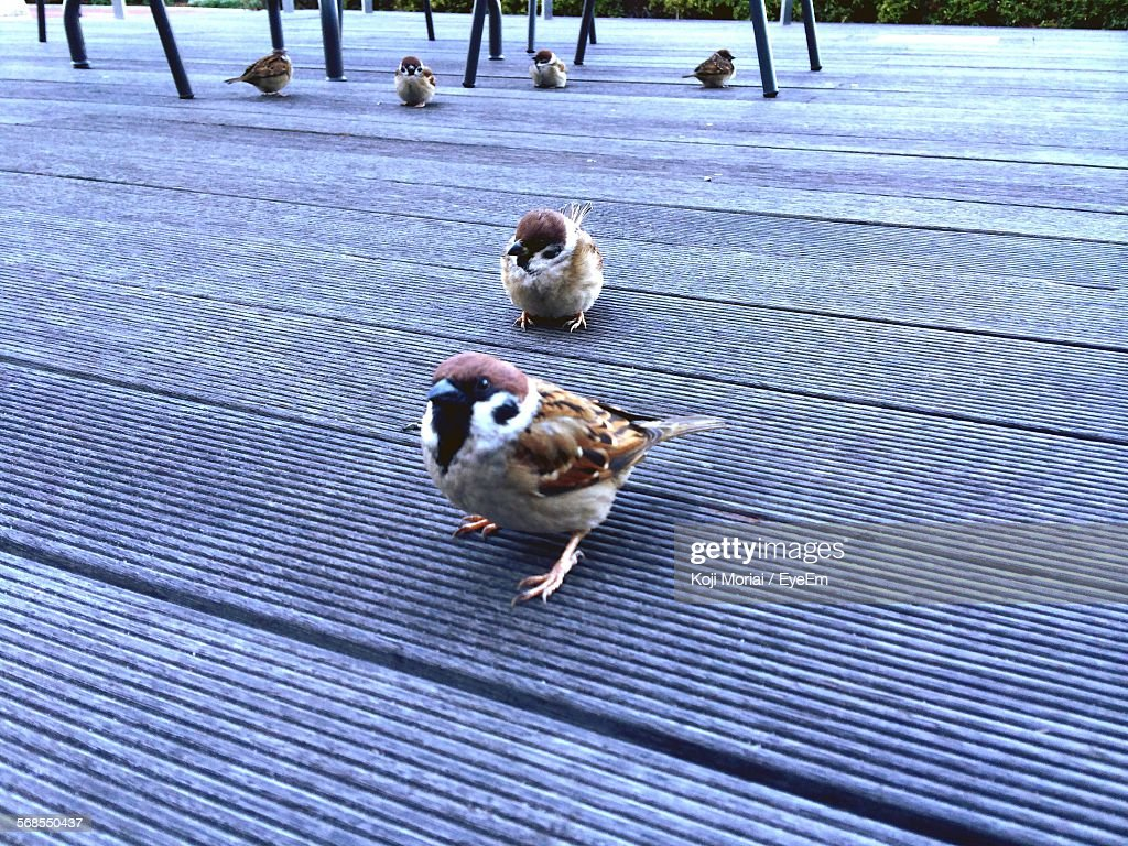 Sparrows On Floorboard : Stock Photo