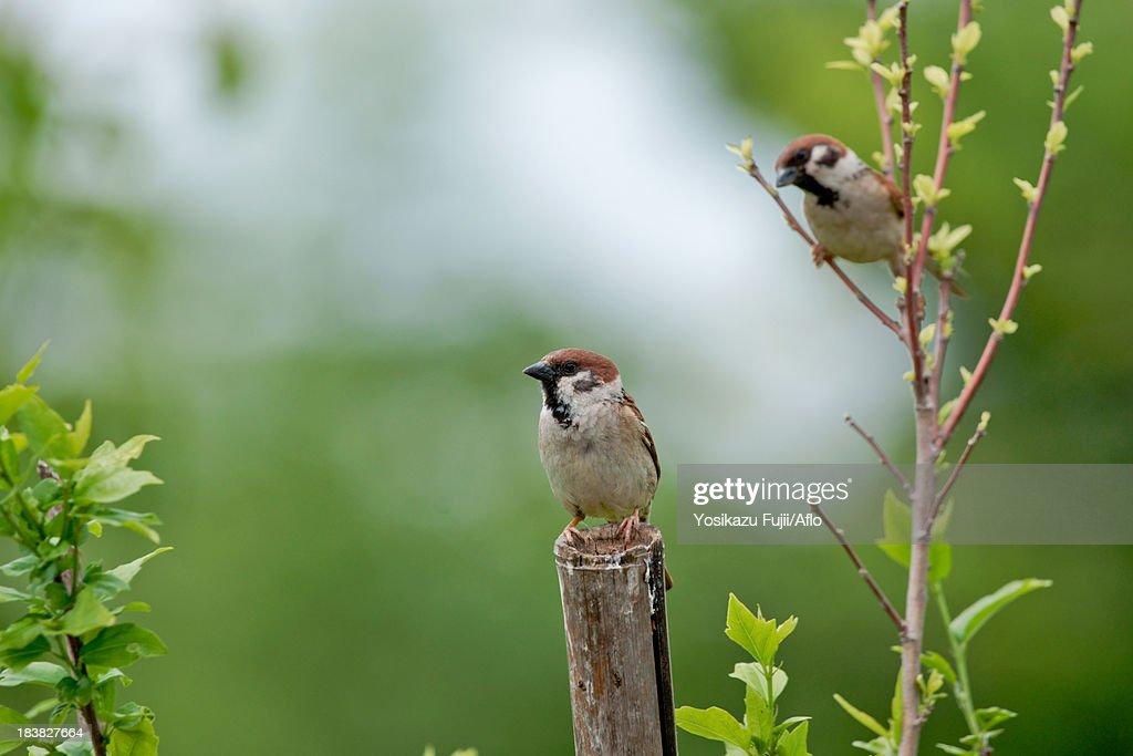 Sparrows on tree : Stock Photo
