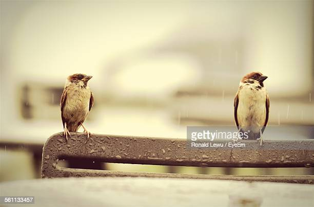 Sparrows Perched On Chair