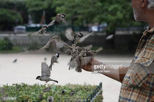 sparrows - grupo mediano de animales - fotografias e filmes do acervo