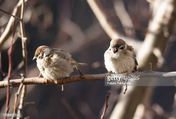 Sparrows rest on branches, Hohhot, Inner Mongolia, China, March 13, 2020. - PHOTOGRAPH BY Costfoto / Barcroft Studios / Future Publishing