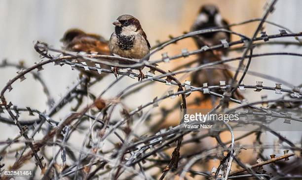 Sparrows rest on the concertina razor wires of Indian government forces during a sunny day after snowfall on January 27 2017 in Srinagar Kashmir...