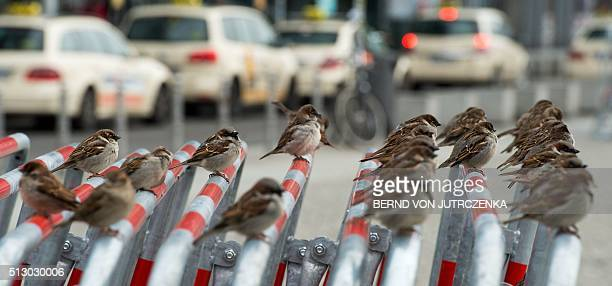 Sparrows sit on crowd barriers standing near the main railway station in Berlin on February 29 2016 / AFP / dpa / Bernd Von Jutrczenka / Germany OUT