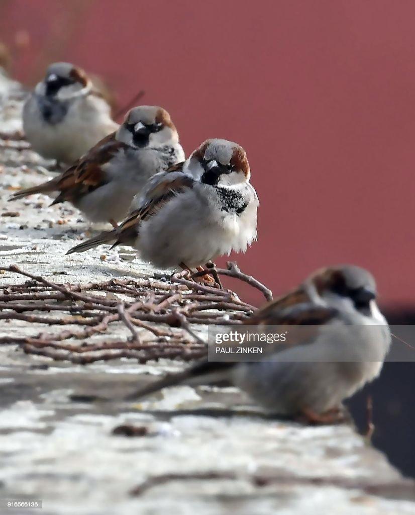 Sparrows sit on the wall of a basin in berlin on february 10 2018 sparrows sit on the wall of a basin in berlin on february 10 2018 thecheapjerseys Gallery