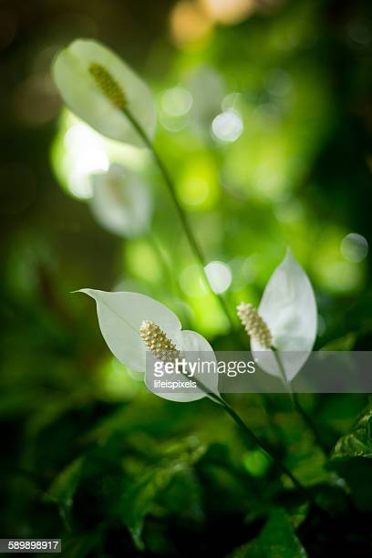 spathiphyllum or peace lily - peace lily stock pictures, royalty-free photos & images
