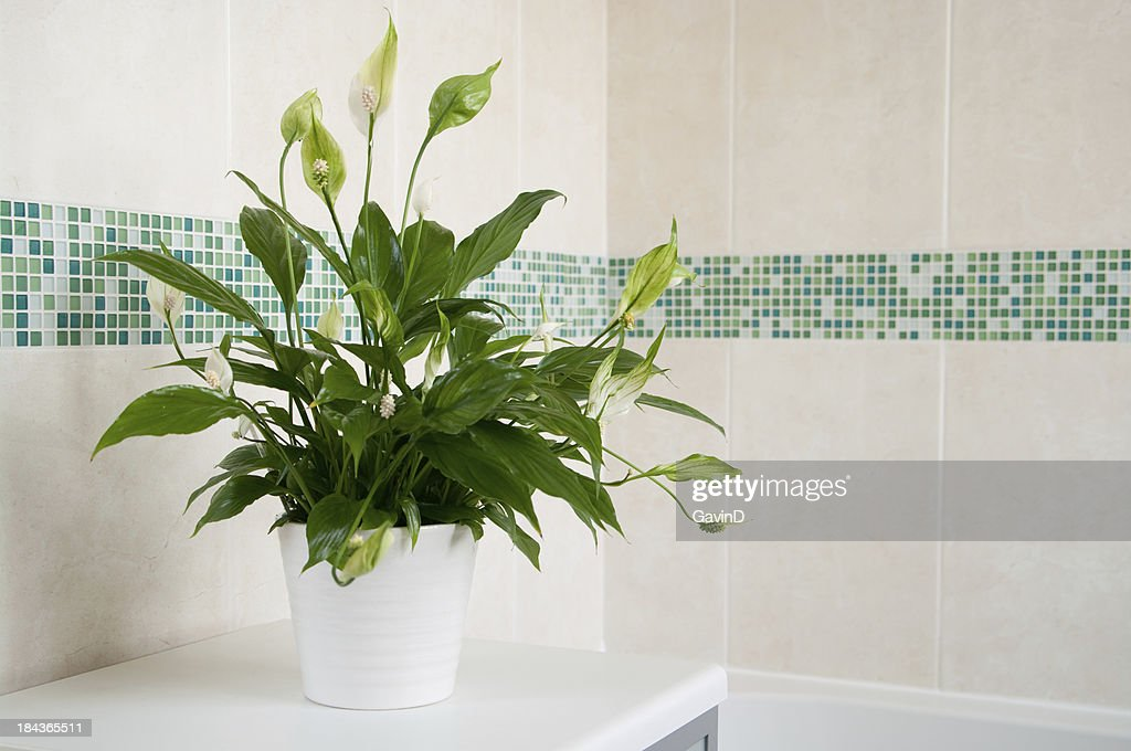 Spathiphyllum Peace Lily indoor plant : Stock Photo