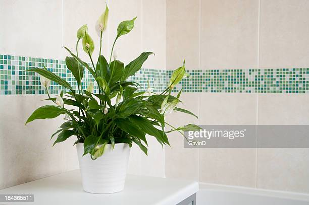 Spathiphyllum Peace Lily indoor plant