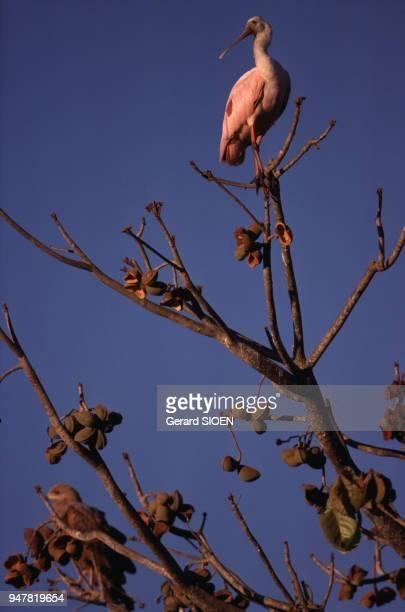 Spatule rosée perchée sur une branche dans la plaine des Llanos au Venezuela