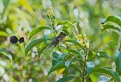 spatuletail hummingbird flight about to get