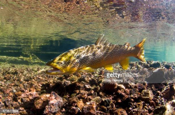 spawning brown trout - brown trout stock pictures, royalty-free photos & images