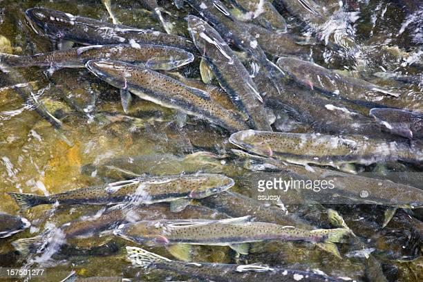 Spawning Coho Salmon, Ketchikan, Alaska
