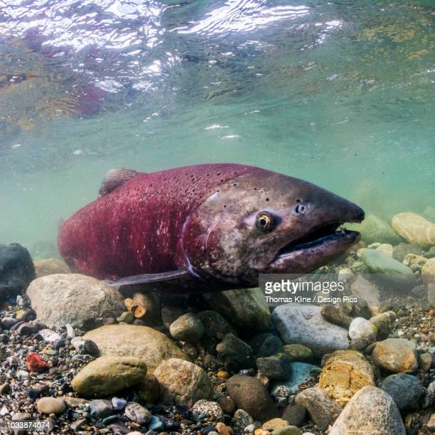 Spawning female Chinook Salmon (also known as King Salmon, Oncorhynchus tshawytscha) in a tributary of the Copper River, Alaska during the summer