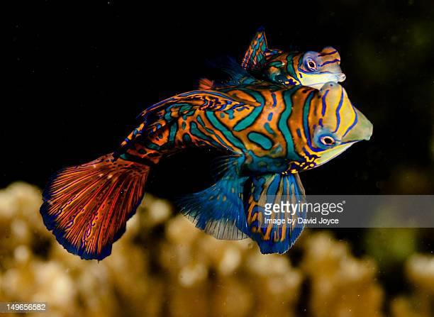 Spawning Mandarin fish