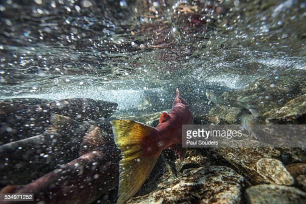 spawning red salmon, katmai national park, alaska - ruscello foto e immagini stock
