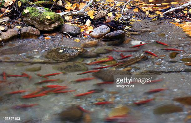 Spawning Salmon in British Columbia Creek
