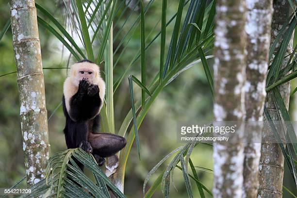 speak no evil capuchin monkey - capuchin monkey stock pictures, royalty-free photos & images