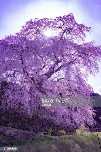 speaking of spring in japan, cherry blossoms. - 桜吹雪 ストックフォトと画像