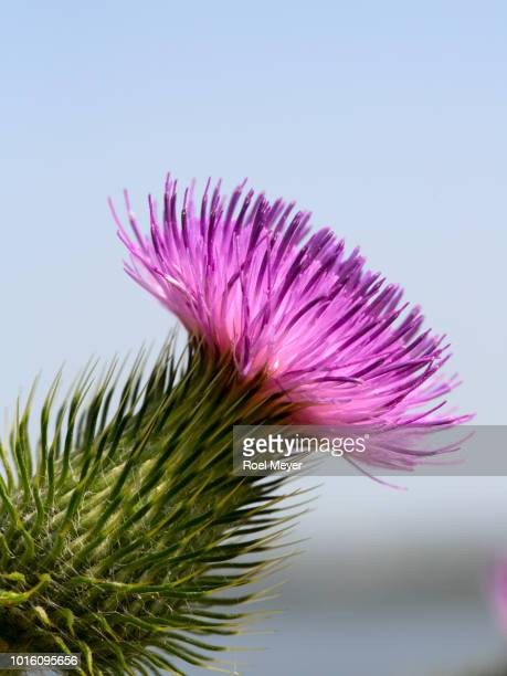 Spear thistle; close-up of single flower