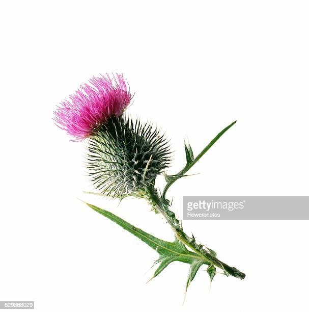 Spear thistle / Scotch thistle / Bull thistle Cirsium vulgare