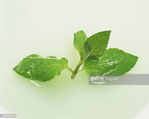 Spearmint Floating on Water, High Angle View