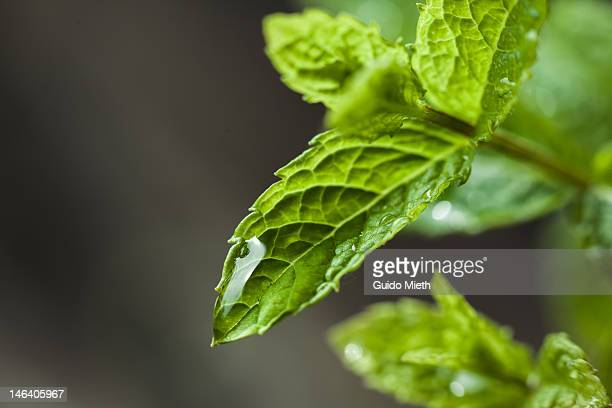 Spearmint leaf with raindrop