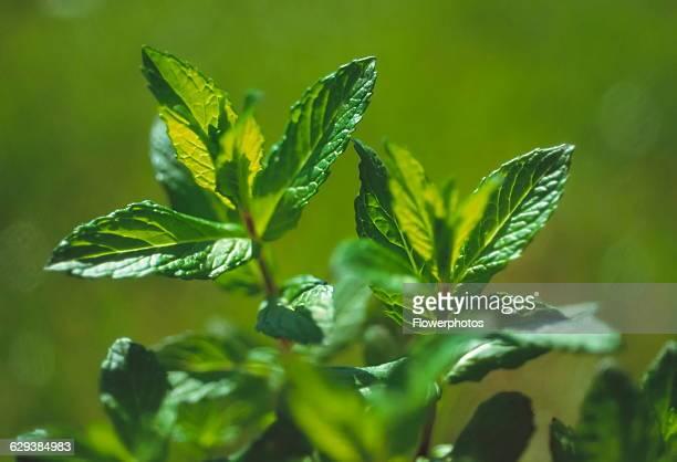 Spearmint Mentha spicata